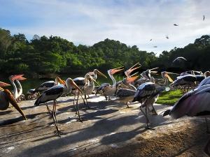Парад пеликанов